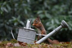 Red squirrel in nature. On a watering can Royalty Free Stock Photography