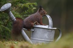 Red squirrel in nature. On a watering can Stock Image