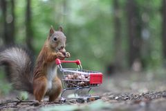 Red squirrel near the small shopping cart with nuts Stock Image