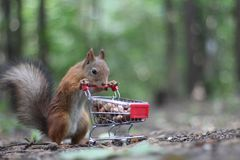 Red squirrel near the small shopping cart with nuts Stock Photo