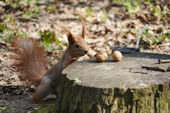 Red squirrel near a tree stump with nuts Royalty Free Stock Photography