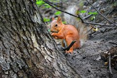 Red squirrel near the trunk of a tree royalty free stock images