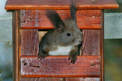 Red squirrel at nest box Royalty Free Stock Image