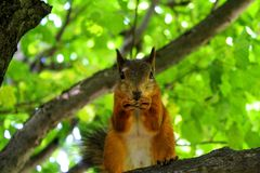 Red squirrel nibbling a nut in the crown of a tree stock images