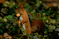 Red squirrel with nut Royalty Free Stock Photography