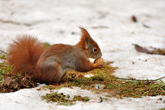 Red squirrel with nut. In winter Royalty Free Stock Image