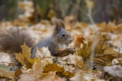 Red squirrel with a nut in autumn leaves. Photo was taken in the Czech Republic royalty free stock image