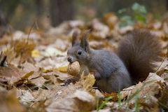 Red squirrel with a nut in autumn leaves. Photo was taken in the Czech Republic stock photography