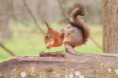 Red squirrel with a nut in paws and eating on a trunk of a tree Stock Photo