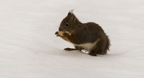 A red squirrel with nut in snow Royalty Free Stock Images