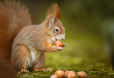 Red squirrel with nuts Stock Photo