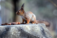 The red squirrel and nuts. On the stone royalty free stock images