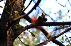 Red squirrel with nuts in your mouth. Red squirrel stores large green walnuts for the winter royalty free stock image