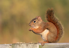 Red Squirrel On Wood Fence Royalty Free Stock Photo