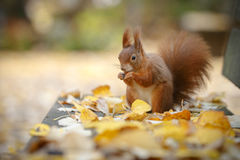 Red squirrel on a park bench Royalty Free Stock Images