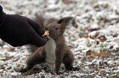 Red squirrel in the park. Red squirrel in a park, feeding from the hand Stock Photography