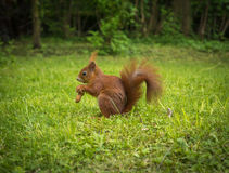 Red Squirrel With Peanut Stock Image