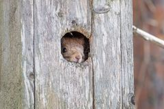 Free Red Squirrel Peeking Out From A Bird Nest Box Royalty Free Stock Photo - 134294985