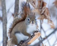 Red Squirrel. Perched on a branch in eastern Ontario in winter Stock Photo