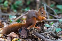 A red squirrel perched on a cut down branch eating a nut. It's stock image