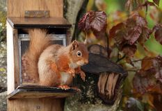 Red Squirrel perched on feeder Royalty Free Stock Images
