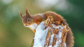 Red Squirrel perched on log Royalty Free Stock Photos