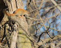 Red Squirrel Perched Stock Image