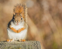 Red Squirrel Perched Royalty Free Stock Photos