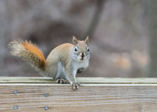 Red Squirrel Perched Stock Photography