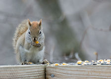 Red Squirrel Perched Royalty Free Stock Photo