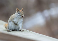 Red Squirrel Perched Royalty Free Stock Photography