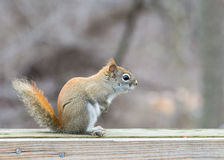 Red Squirrel Perched Royalty Free Stock Images