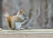 Red Squirrel Perched Stock Images