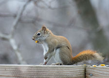 Red Squirrel Perched Royalty Free Stock Image