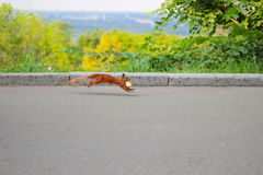 Red squirrel with  piece of bread in his mouth runs on asphalt Stock Image