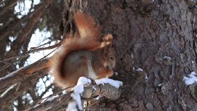 Red squirrel on pine branch eating nuts in winter stock video footage