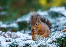 Red squirrel in pine tree Royalty Free Stock Images