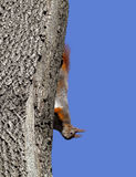 Red squirrel play on tree Royalty Free Stock Photos