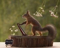 Squirrel playing on a harp Royalty Free Stock Images
