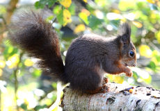 Red Squirrel Portrait Royalty Free Stock Photos