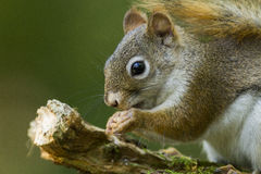 Red squirrel portrait Royalty Free Stock Images