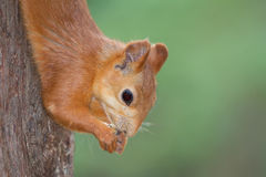 Red squirrel portrait Royalty Free Stock Photo
