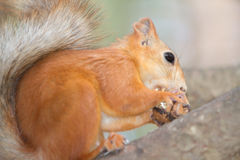 Red squirrel portrait Royalty Free Stock Photography