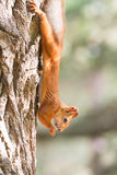 Red squirrel portrait Stock Photo