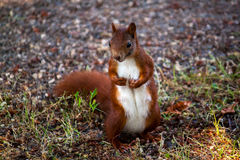 Red squirrel. Portrait of squirrel. Photography of wildlife Stock Image