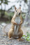 Red squirrel portrait. Wild animal. Royalty Free Stock Image