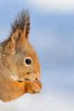 Red Squirrel portrait in winter Stock Image
