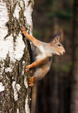 Red squirrel posing on the birch Royalty Free Stock Photography
