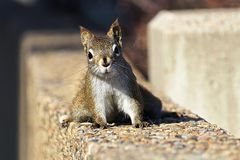 A Red Squirrel posses on a stone wall stock images