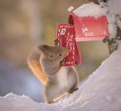 Squirrel posting a christmas santa letter. Red squirrel posting a christmas santa letter Stock Photography